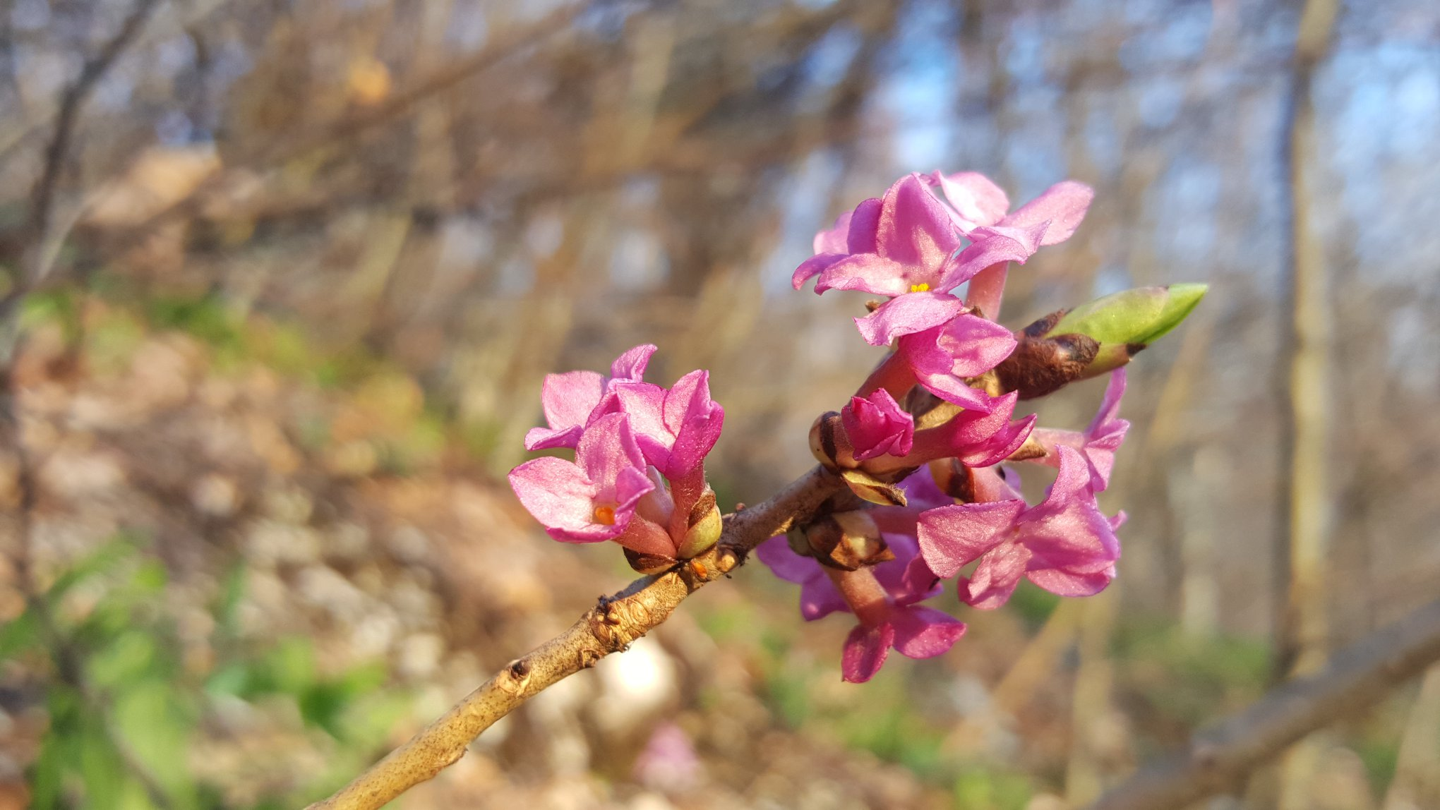 Daphne mezereum cunoscut popular ca liliacul sălbatic tulichina seamănă cu liliacul pe care îl avem plantat în grădină, dar acesta este toxic