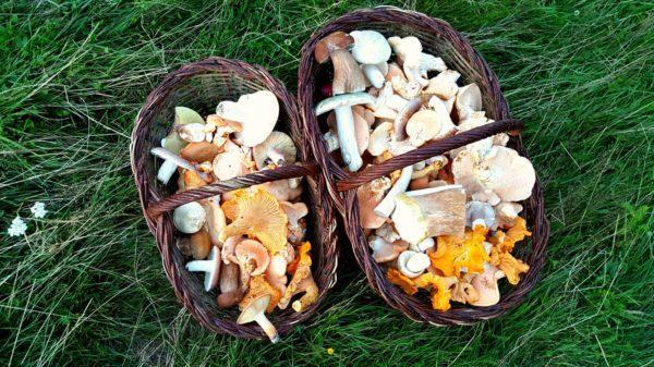 cosuri cu ciuperci de la Forumul National de cules din flora spontana