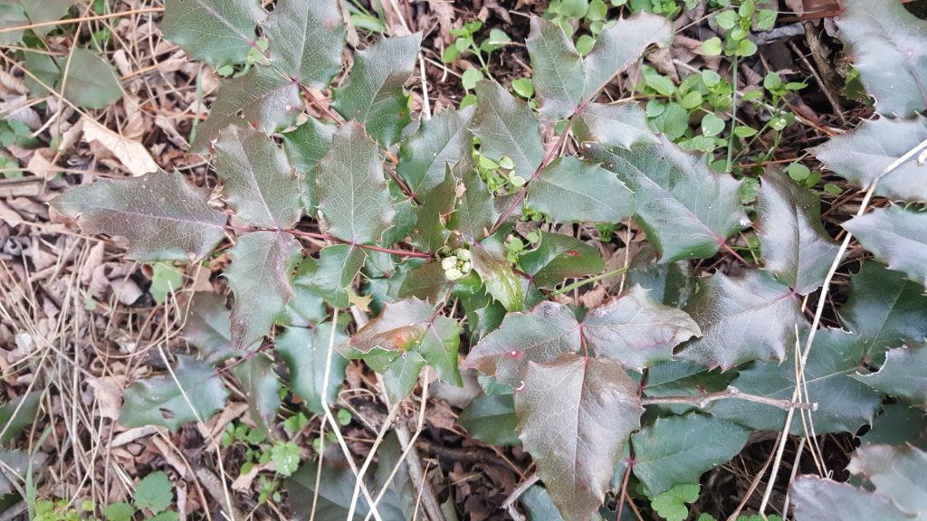 Frunze de Mahonia aquifolium