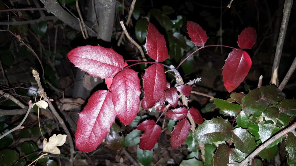 Frunze înroșite de Mahonia aquifolium de la frig