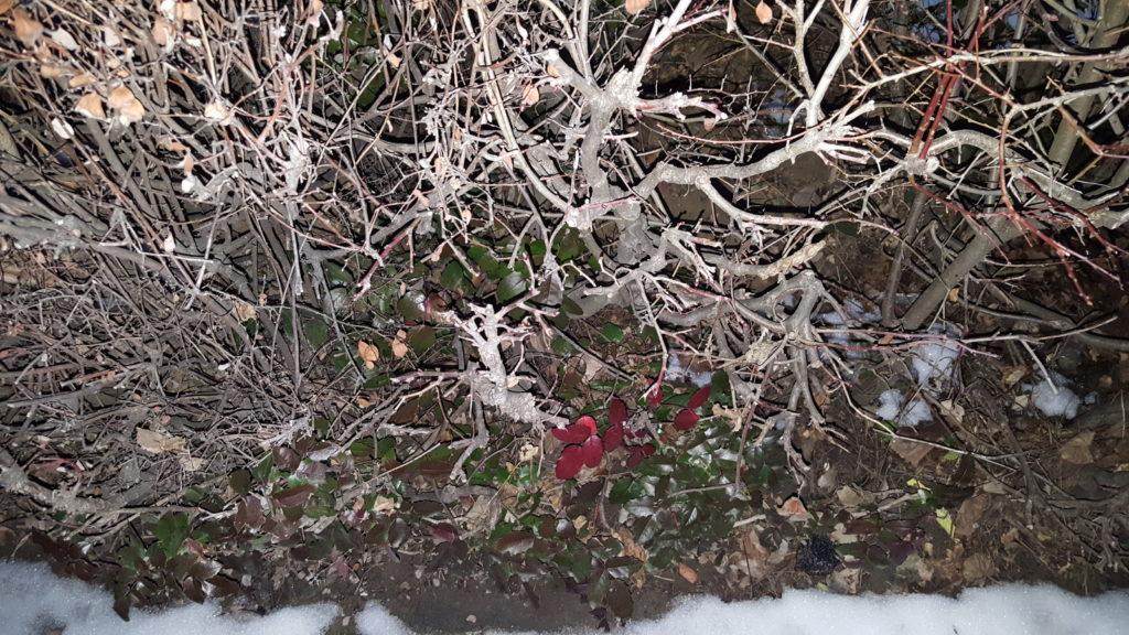 Mahonia aquifolium făcând parte dintr-un gard viu