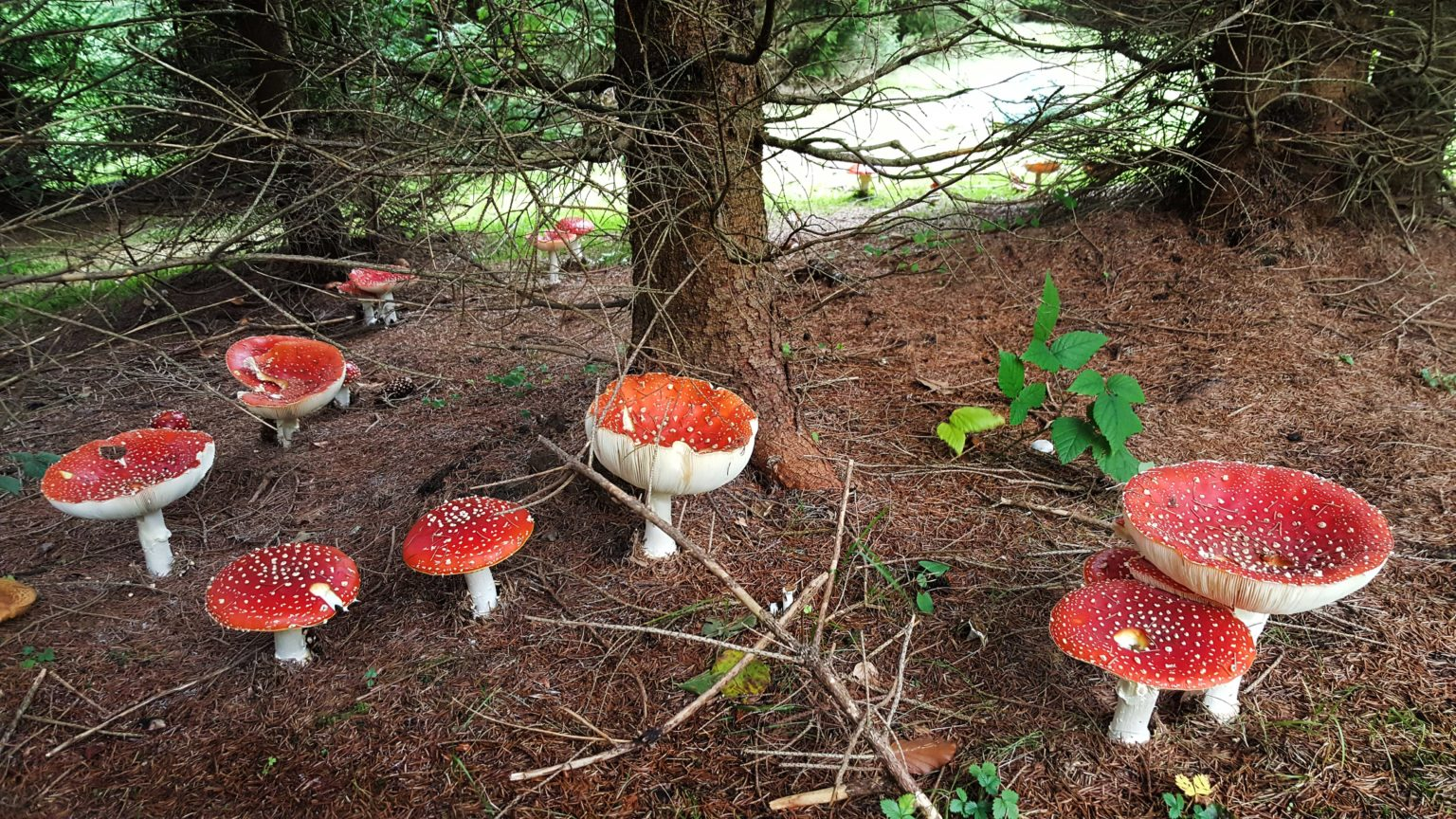 incredible-foraging-curs-micologie-amanita-muscaria