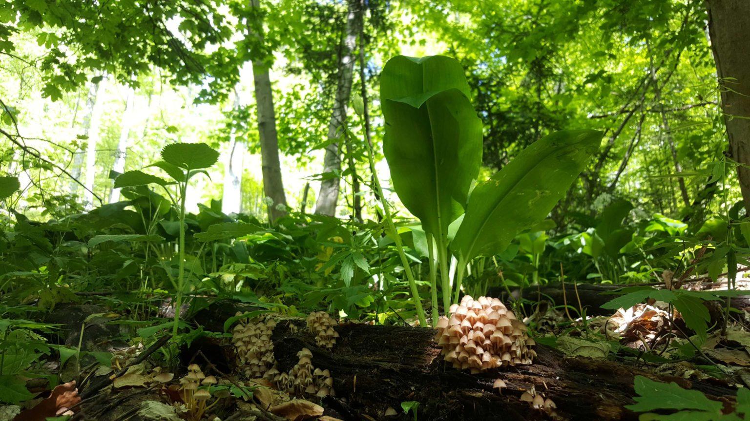 incredible-foraging-curs-micologie-element-mycena-renati-leurda