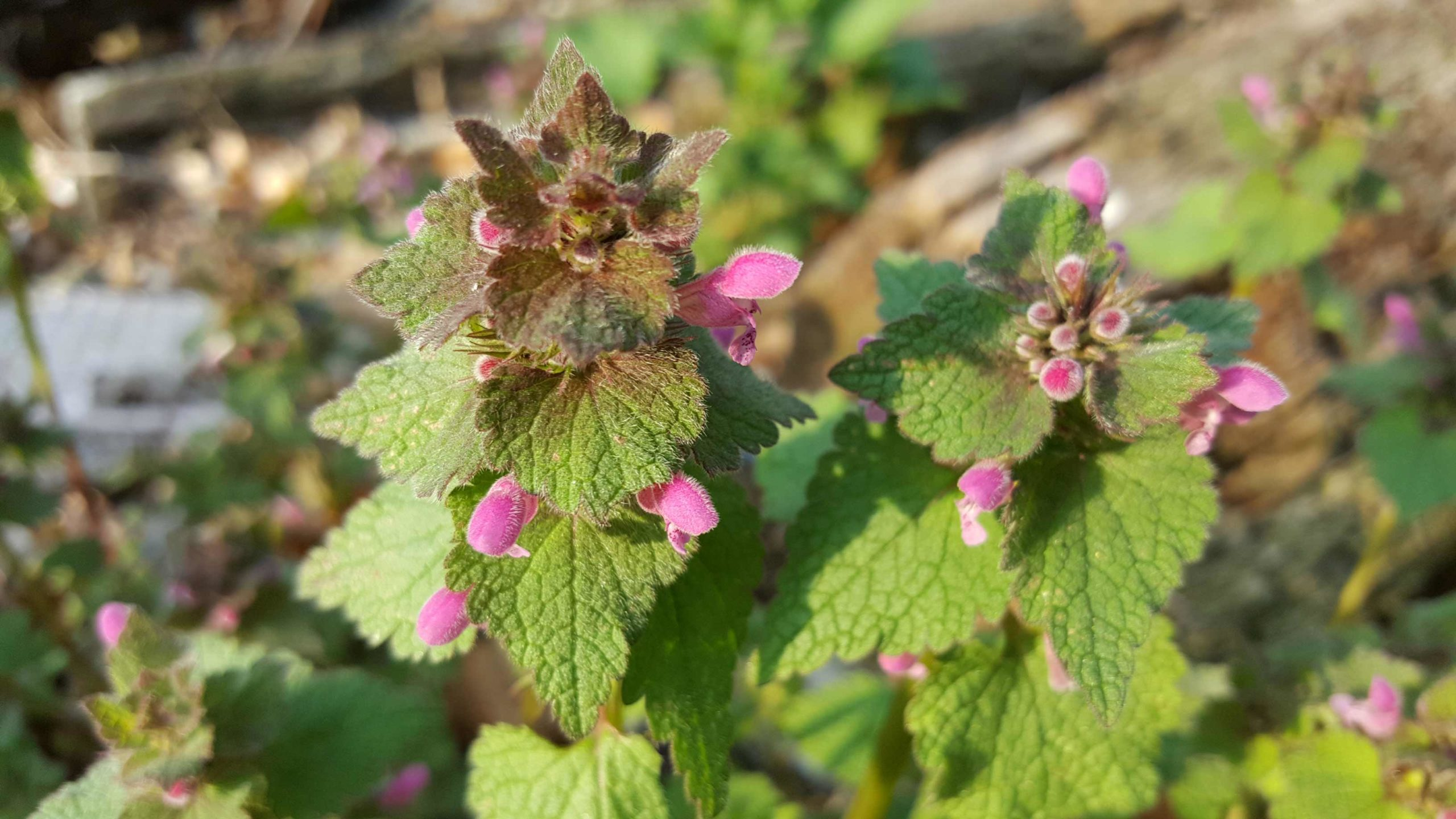 incredible-foraging-lamium-purpureum-flori-flowers