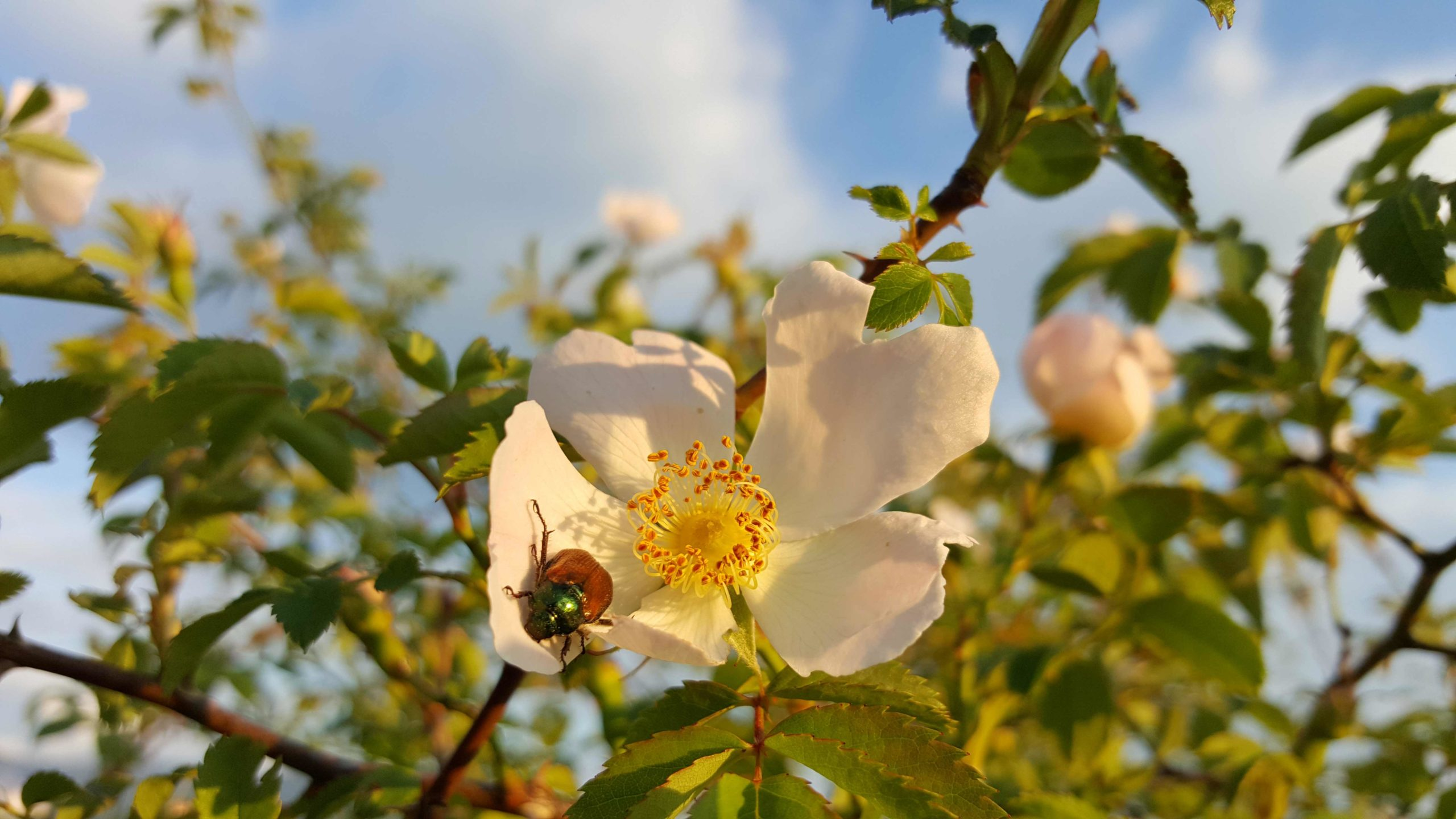 incredible-foraging-rosa-canina-flori-flowers
