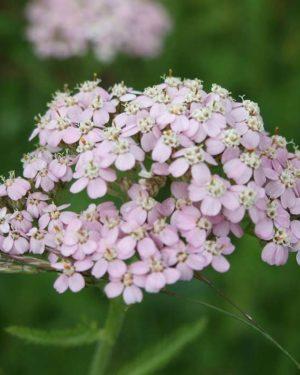 achillea millefolium - coada soricelului