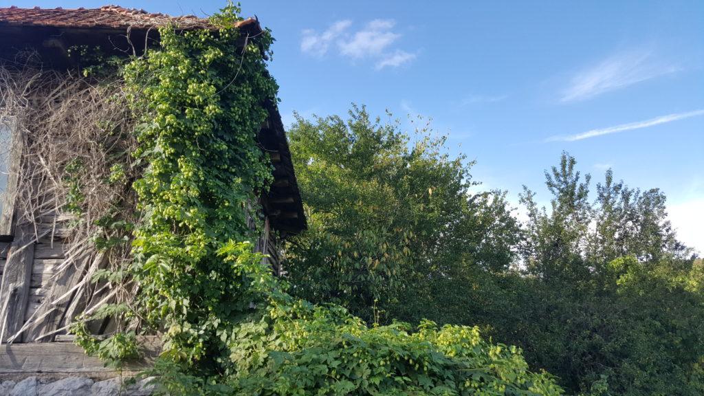 hamei crescut pe casă