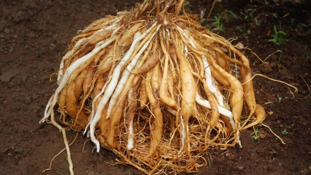 Ierburi (plante) medicinale pentru femei Asparagus racemosus (Shatavari)