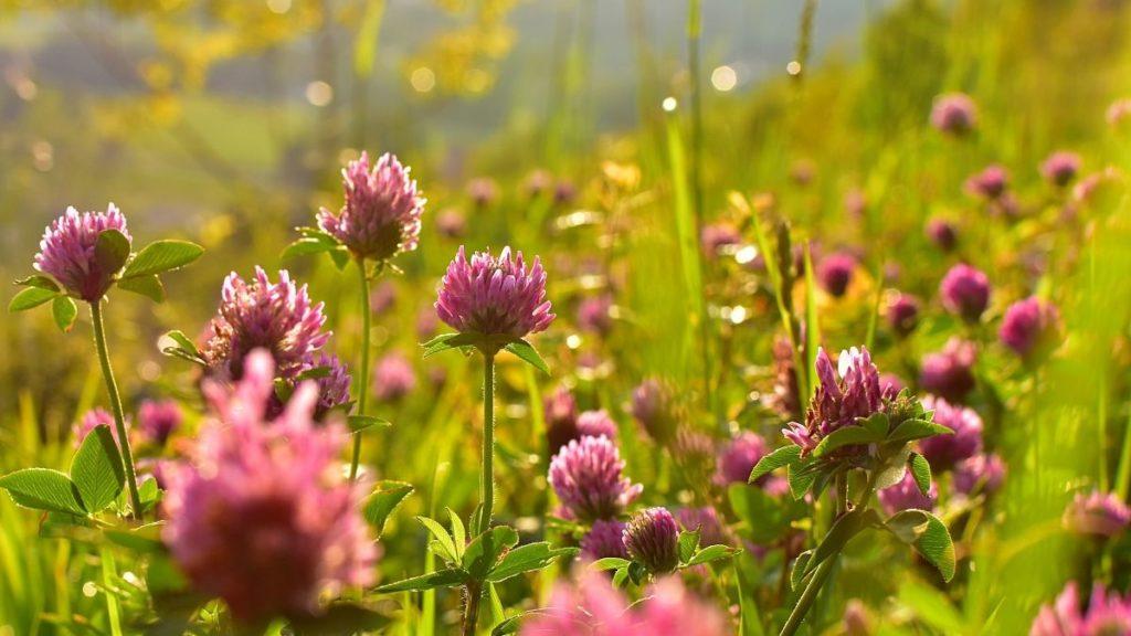 Ierburi (plante) medicinale pentru femei Trifollium pratense (trifoi rosu)