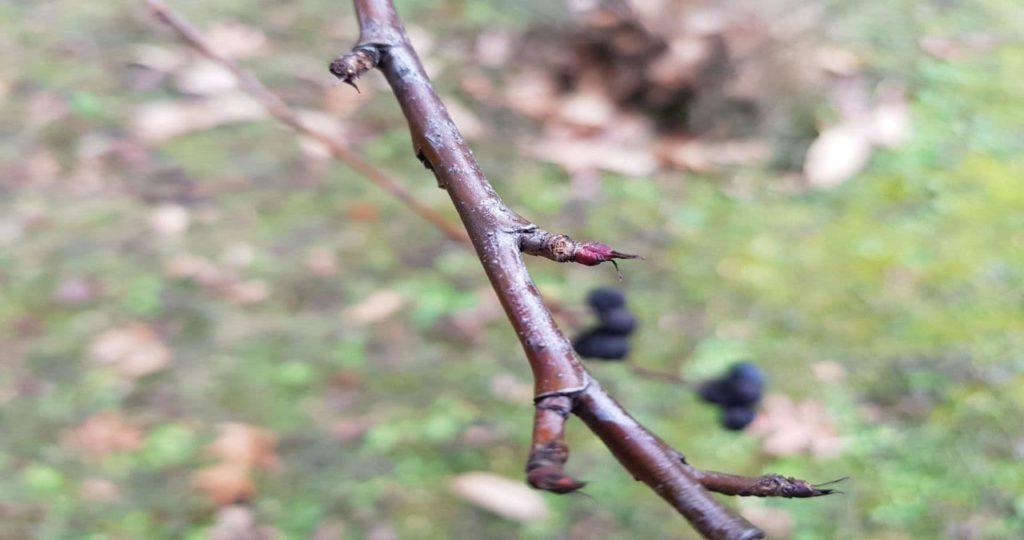 Muguri comestibili si medicinali - Aronia melanocarpa