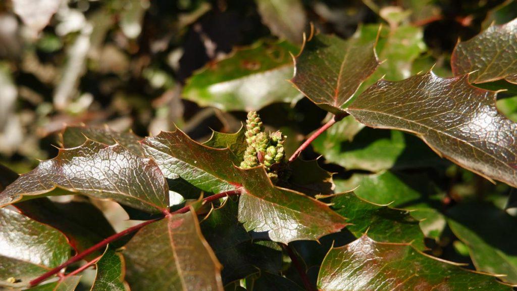 Muguri comestibili: Mahonia aquifolium