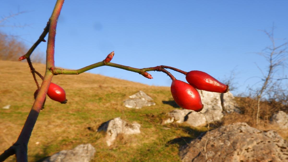mugurii comestibili de Rosa canina (maces)