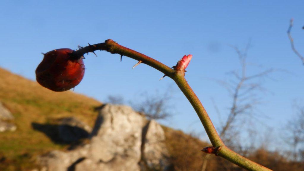 Muguri comestibili: Rosa canina (maces)