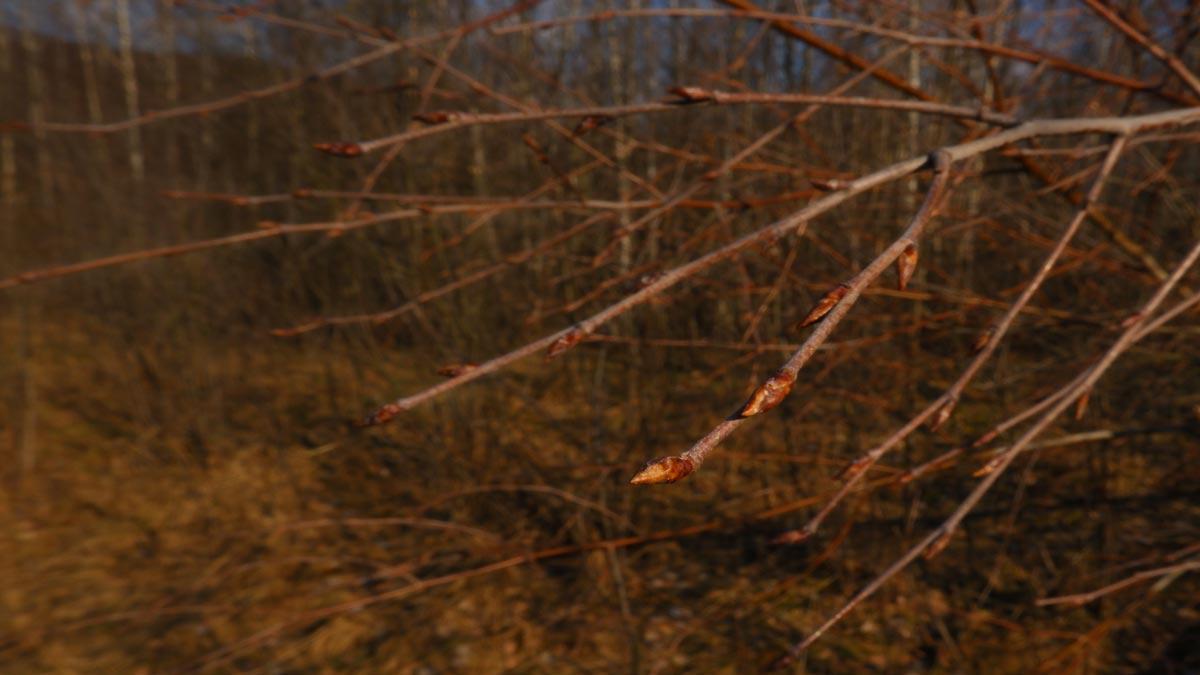 muguri de mesteacan (Betula pendula)