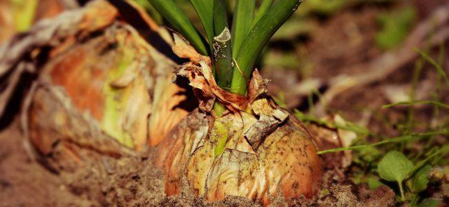 incredible-curs-permacultura-gradinarit-allium-ceapa