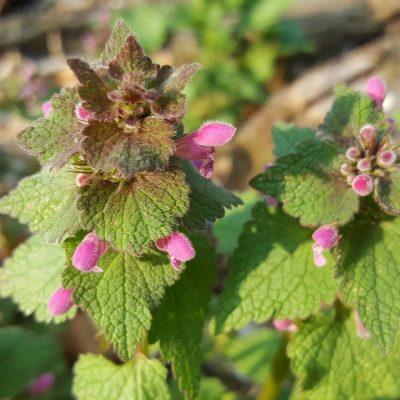 incredible-foraging-lamium-purpureum-flori-flowers